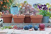 Jungpflanzen von Asiasalat 'Agano', auch rote wilde Rauke genannt, in Tontöpfen, Hornveilchen Sorbet 'Phantom', Zwetschgen und Apfel