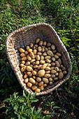 Geerntete Kartoffeln im Weidekorb
