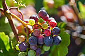 Various different coloured grapes on a vine