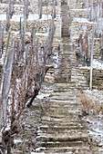 A vineyard landscape with steps, Martin Wassmer vineyard, Markgräflerland region, Baden, Germany