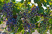 Grapes, Cathy Corison Winery, Napa Valley, California, USA