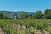 Vineyard landscape, Cathy Corison Winery, Napa Valley, California, USA