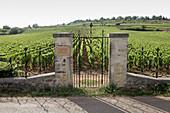 Weinlandschaft, Montrachet Bouchard, Burgund, Frankreich