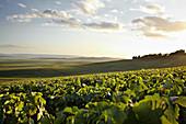 Weinlandschaft, Egly Ouriet, Champagne, Frankreich