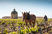 A tower, a vintner and a horse in the vinyard at Chateau Latour, Pauillac, Bordeaux. France