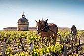 Rebfeld mit Turm, Winzer und Pferd, Chateau Latour, Pauillac, Bordeaux, Frankreich