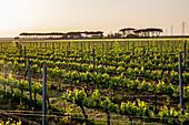 Vineyard landscape, Matarocchio, Guado al Tasso, Bolgheri, Maremma, Italy