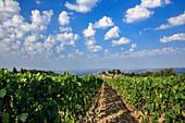 Vineyard landscape and Luce della Vite vineyard, Montalcino, Tuscany, Italy