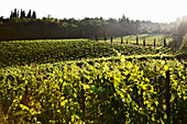 Vineyard landscape and Candialle vineyard, Chianti Classico, Tuscany, Italy