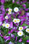 Gänseblümchen in Blumenwiese
