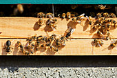 Bees at the entrance to a beehive