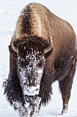 Bison in snow in Yellowstone National Park, USA
