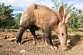 Aardvark feeding