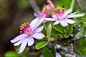 Cross-berry raisin flower (Grewia occidentalis)