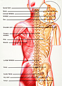 Back anatomy, illustration