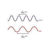 Wavelengths of violet and red light, illustration