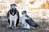 Martial eagle adult with chick