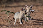 Cape fox with pygmy hairy-footed gerbil
