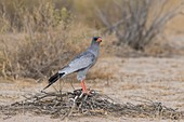 Pale chanting goshawk with captured snake