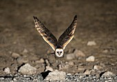 Western barn owl taking off from a rock