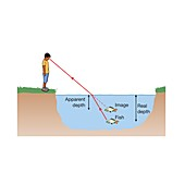 Refraction in a fish pond, illustration