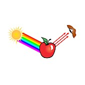 Apple reflecting red light, illustration