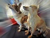 Soviet space dogs Strelka and Belka