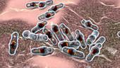 Clostridium bacteria, illustration