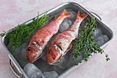 Raw Mullus fish in metal dish