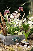 Osterdekoration mit Traubenhyazinthen, Schachbrettblumen und gefüllter Primel in Schublade, Fasanenfedern und Zweig von Blutpflaume als Deko