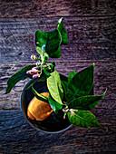 Zitrone mit Blüten und Blättern