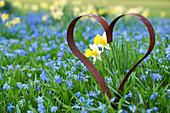 Herz aus rostigem Eisen in Frühlingswiese aus Blausternchen und Narzissen