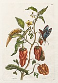 Pepper plant and insects, 18th century illustration