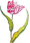 Gesner's Tulip (Tulipa gesneriana), 17th century illustration