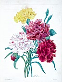 Carnation flowers, 19th century illustration