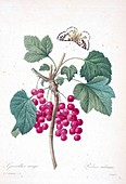 Red currant (Ribes rubrum), 19th century illustration
