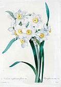 Daffodil (Narcissus tazetta), 19th century illustration