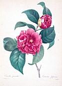 Camellia (Camellia japonica), 19th century illustration