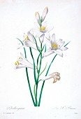 Lily flowers, 19th century illustration