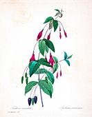 Scarlet fuchsia (Graptophyllum excelsum), illustration