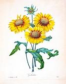 Blanket flower (Gaillardia sp.), 19th century illustration