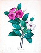 Madagascar periwinkle, 19th century illustration