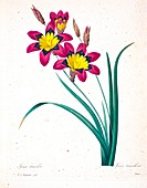 Wandflower (Sparaxis tricolor), 19th century illustration