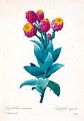 Giant cudweed (Gnaphalium eximium), 19th century illustration