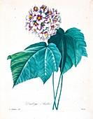 Dombeya flower, 19th century illustration