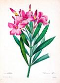 Oleander (Nerium oleander), 19th century illustration