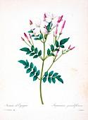 Spanish jasmine, 19th century illustration