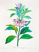 Enkianthus quinqueflorus flower, 19th century illustration