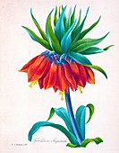Crown imperial, 19th century illustration