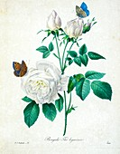 Bengal rose, 19th century illustration